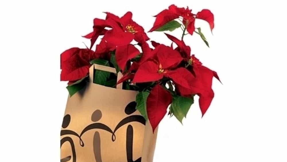 Prezzo Stella Di Natale Ail.Ail Foggia In Piazza Per La Ricerca Il 7 8 E 9 Dicembre 2018